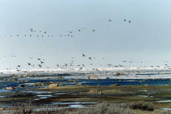 Geese take flight at Nanuk.