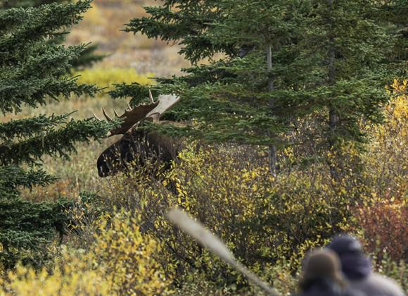 Broadside shot. Bull moose at Webber's Lodges.