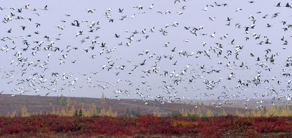 geeseflying3