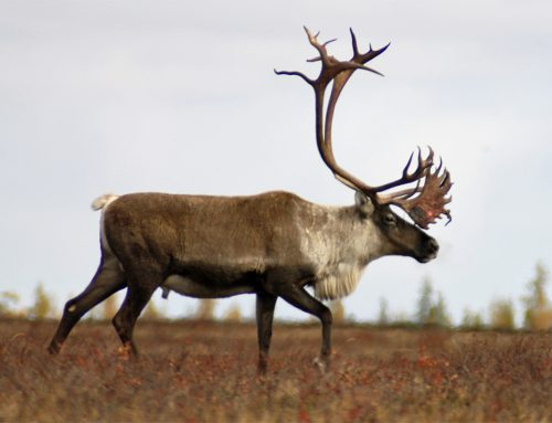 Central Barren Ground Caribou Hunts. Update.