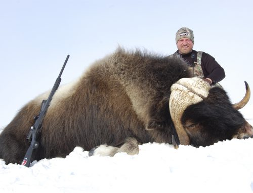 Last minute spring Musk Ox hunt opportunity!