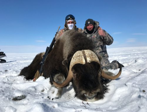 Musk Ox dreams come true quickly