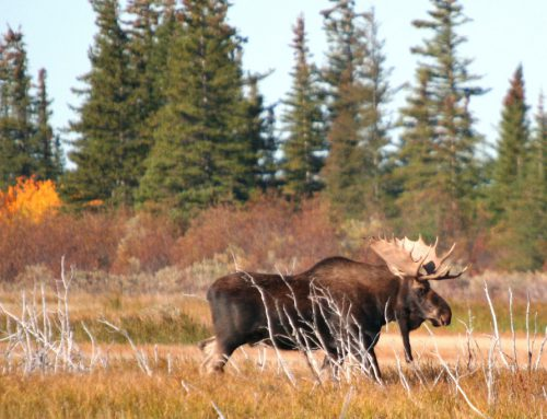 Last-Minute Booking Offer! Manitoba Moose Hunts!